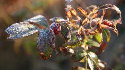 En kvist med frost